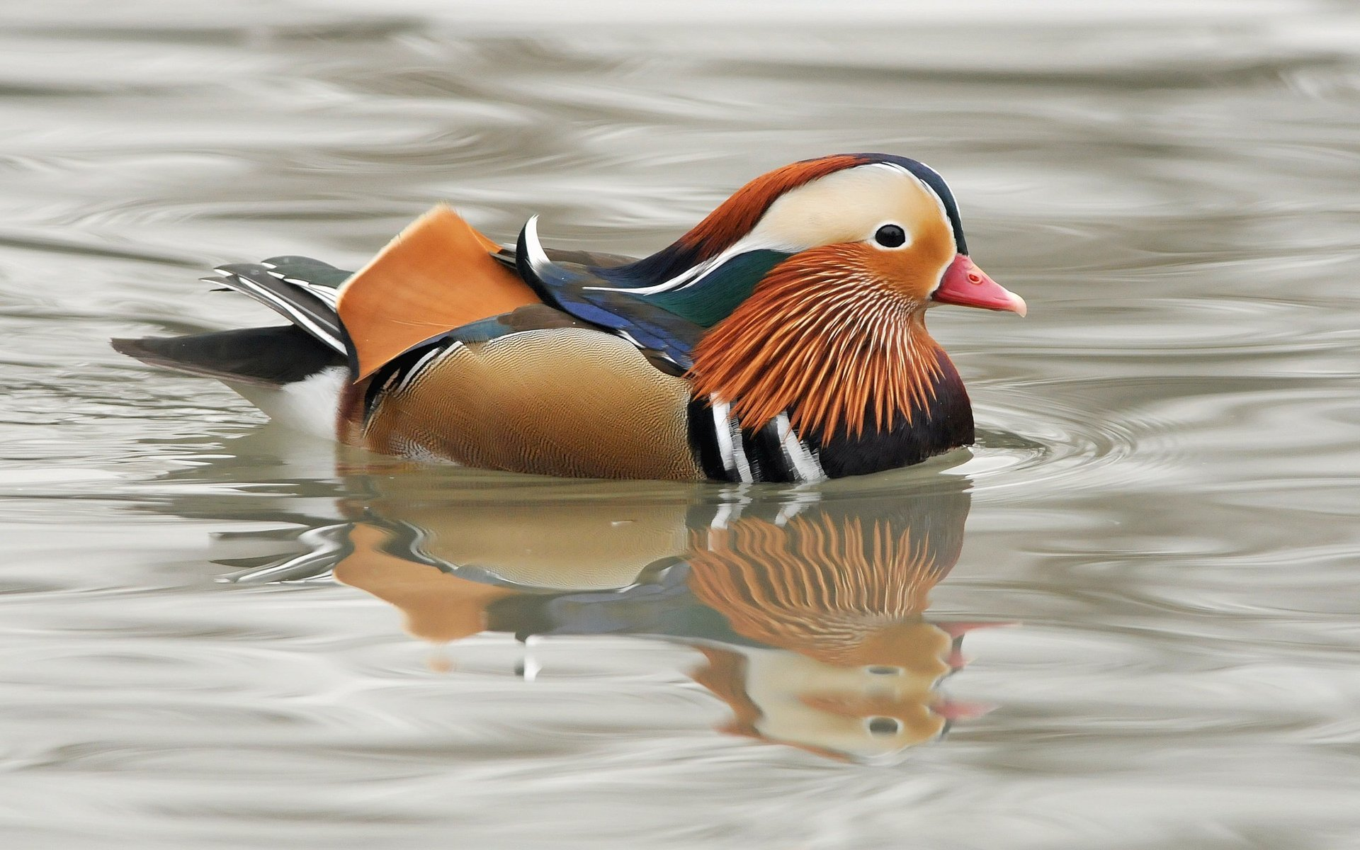 Free Mandarin Duck high quality background ID:100771 for hd 1920x1200 desktop