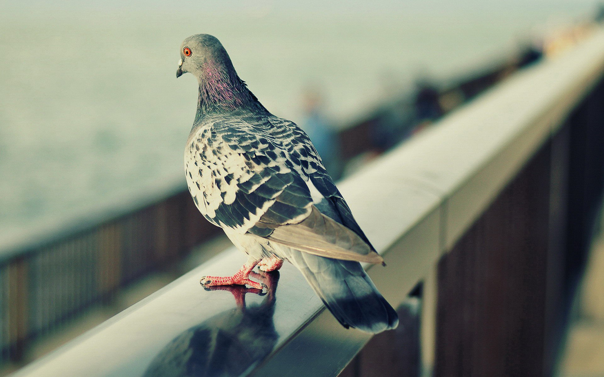 High resolution Pigeon hd 1920x1200 background ID:212329 for PC