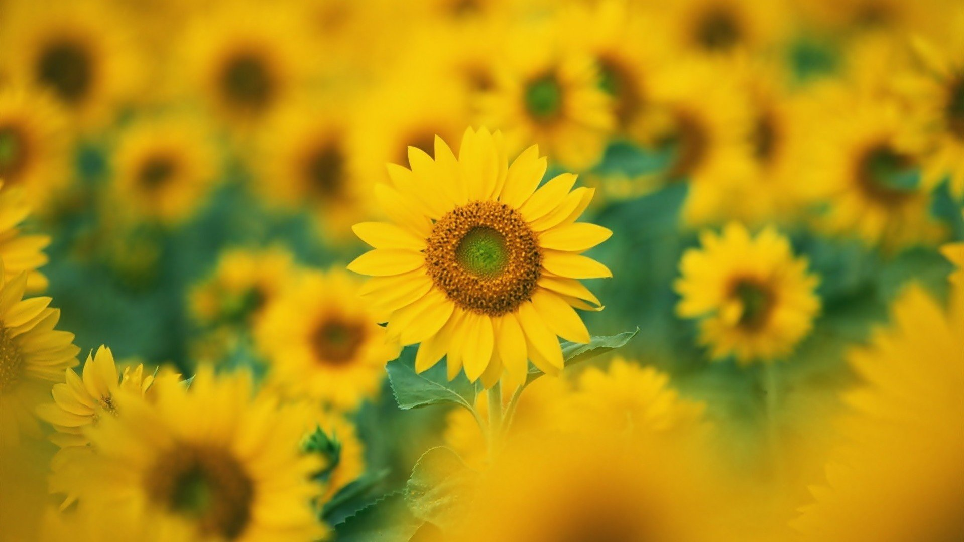 Sunflower Wallpapers 1920x1080 Full Hd 1080p Desktop Backgrounds