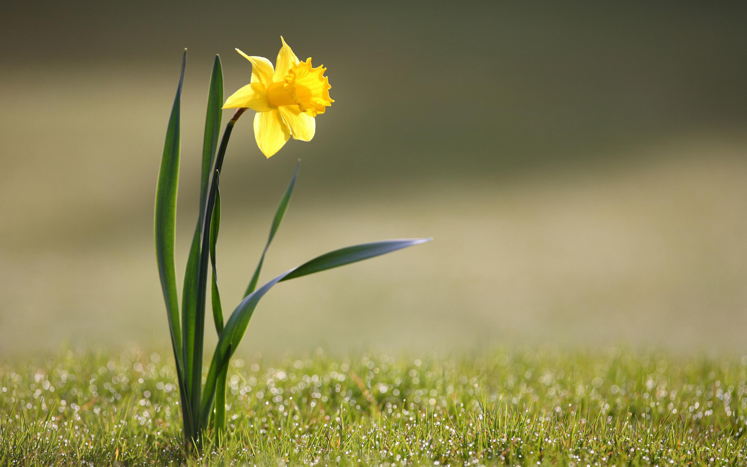 High resolution Daffodil hd 2560x1600 wallpaper ID:375715 for PC