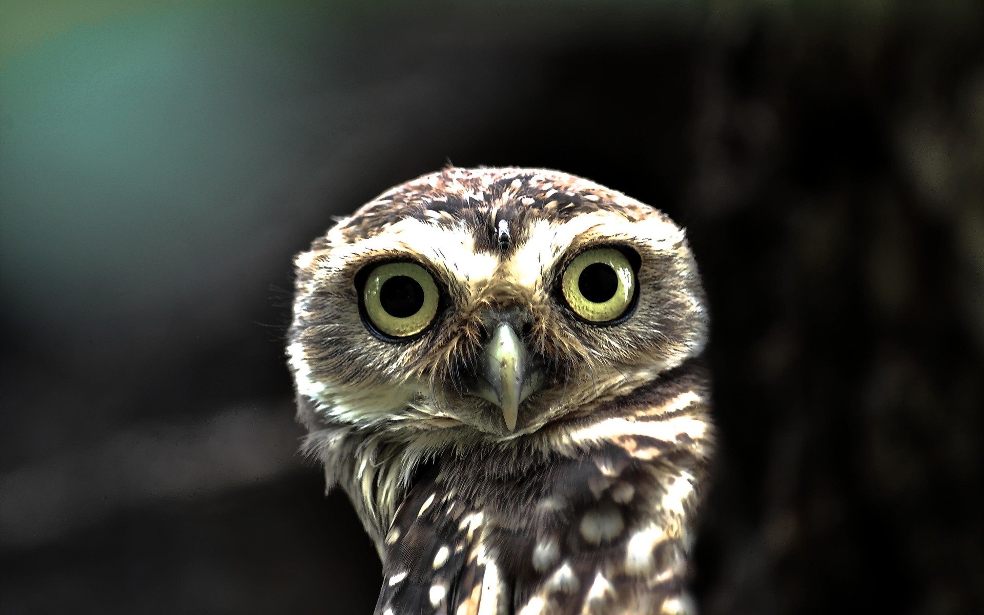 High resolution Owl hd 1920x1200 wallpaper ID:237394 for desktop