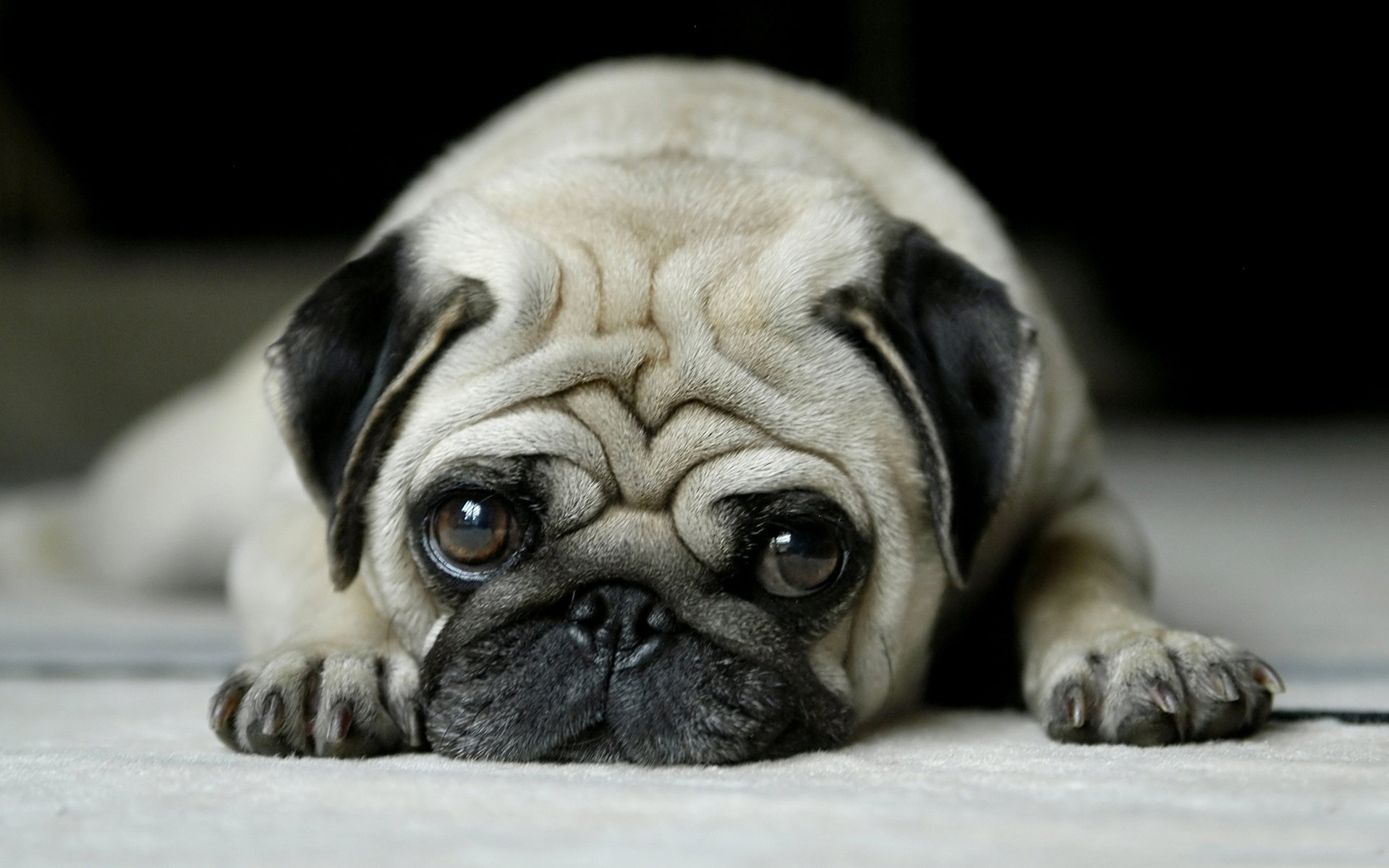 Download hd 1920x1200 Pug PC background ID:282829 for free