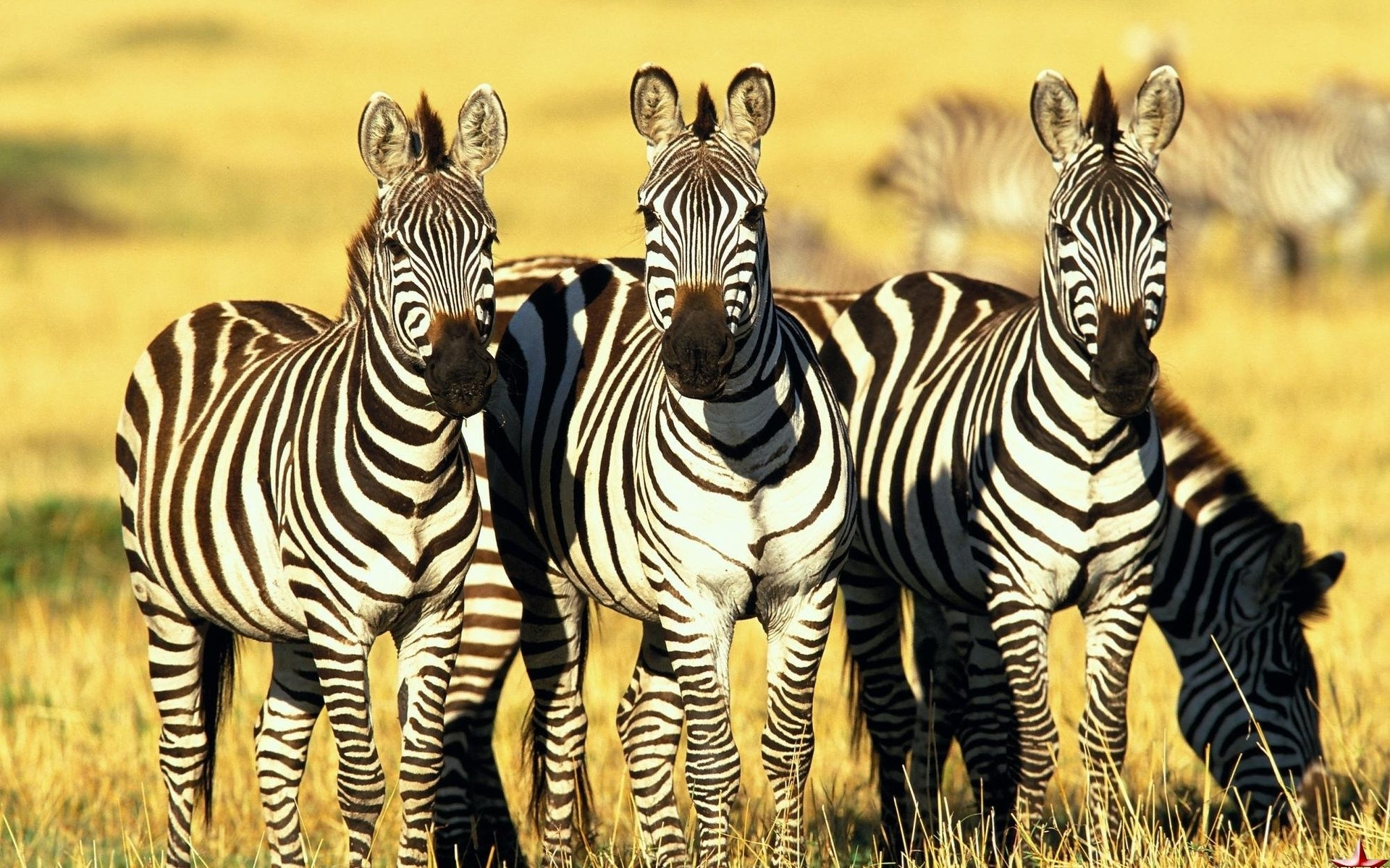 Free download Zebra background ID:73768 hd 1920x1200 for PC