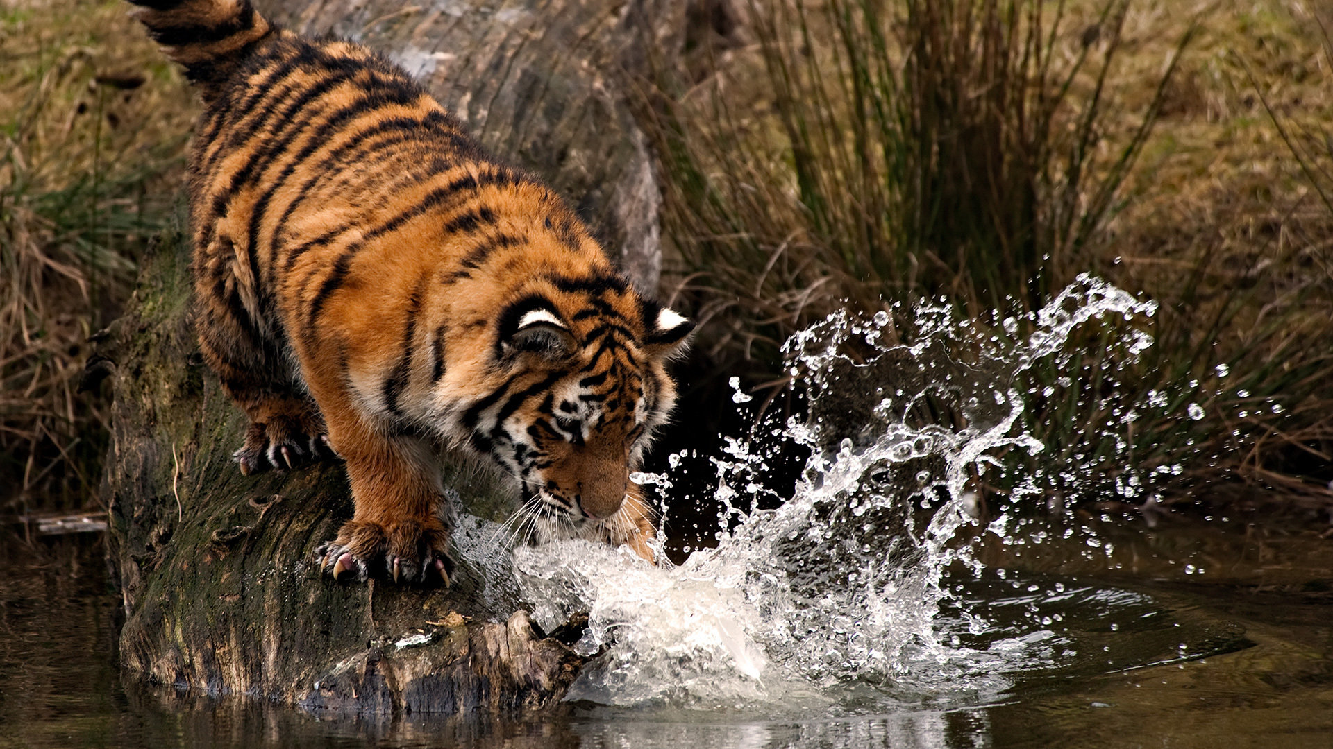 Free download Tiger background ID:116685 full hd for desktop