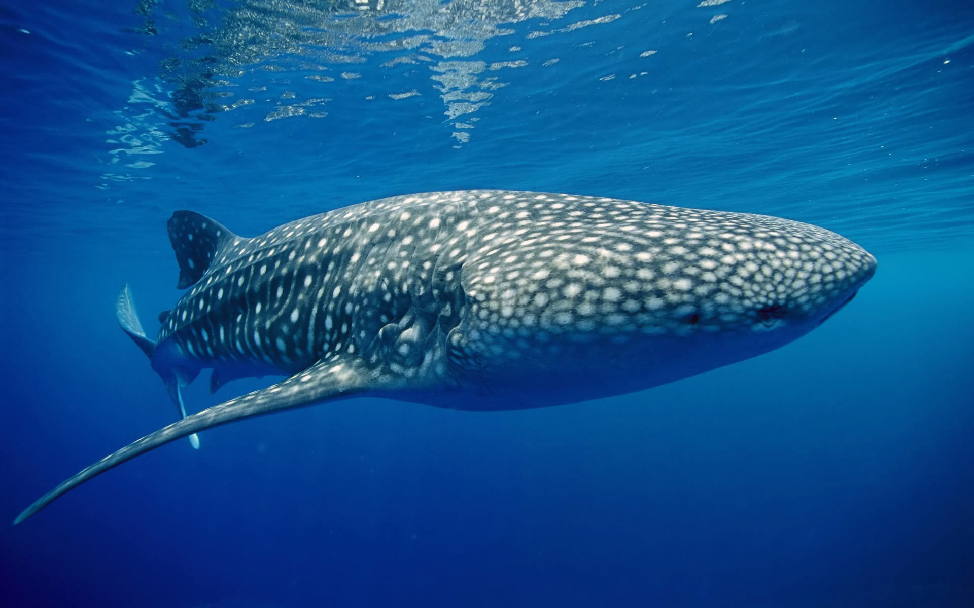 High resolution Whale Shark hd 1920x1200 background ID:134820 for desktop