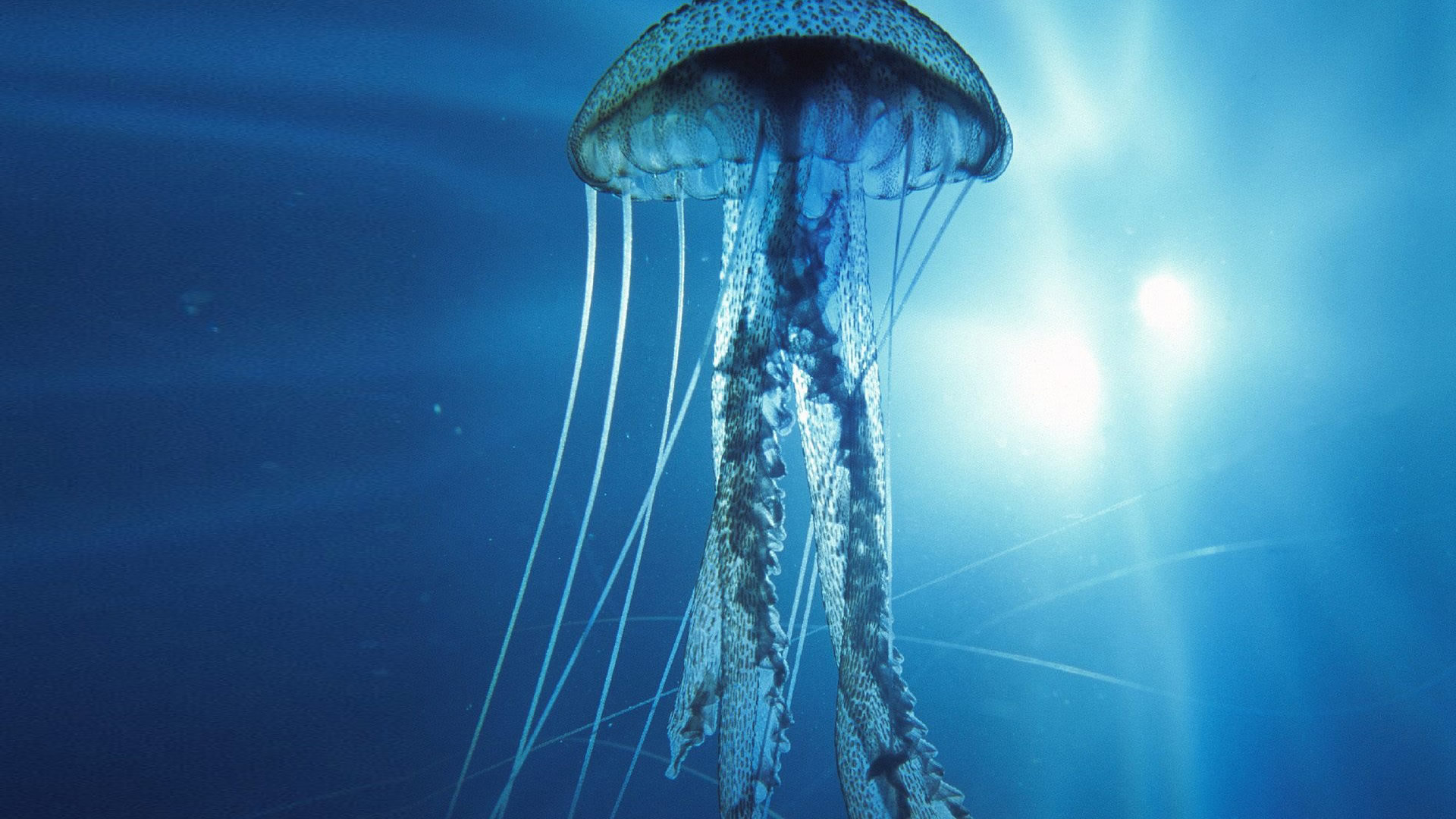 Awesome Jellyfish free background ID:199755 for hd 1080p desktop