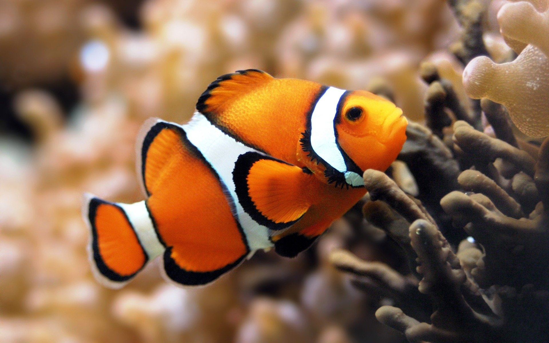 Free Clownfish high quality wallpaper ID:53272 for hd 1920x1200 PC