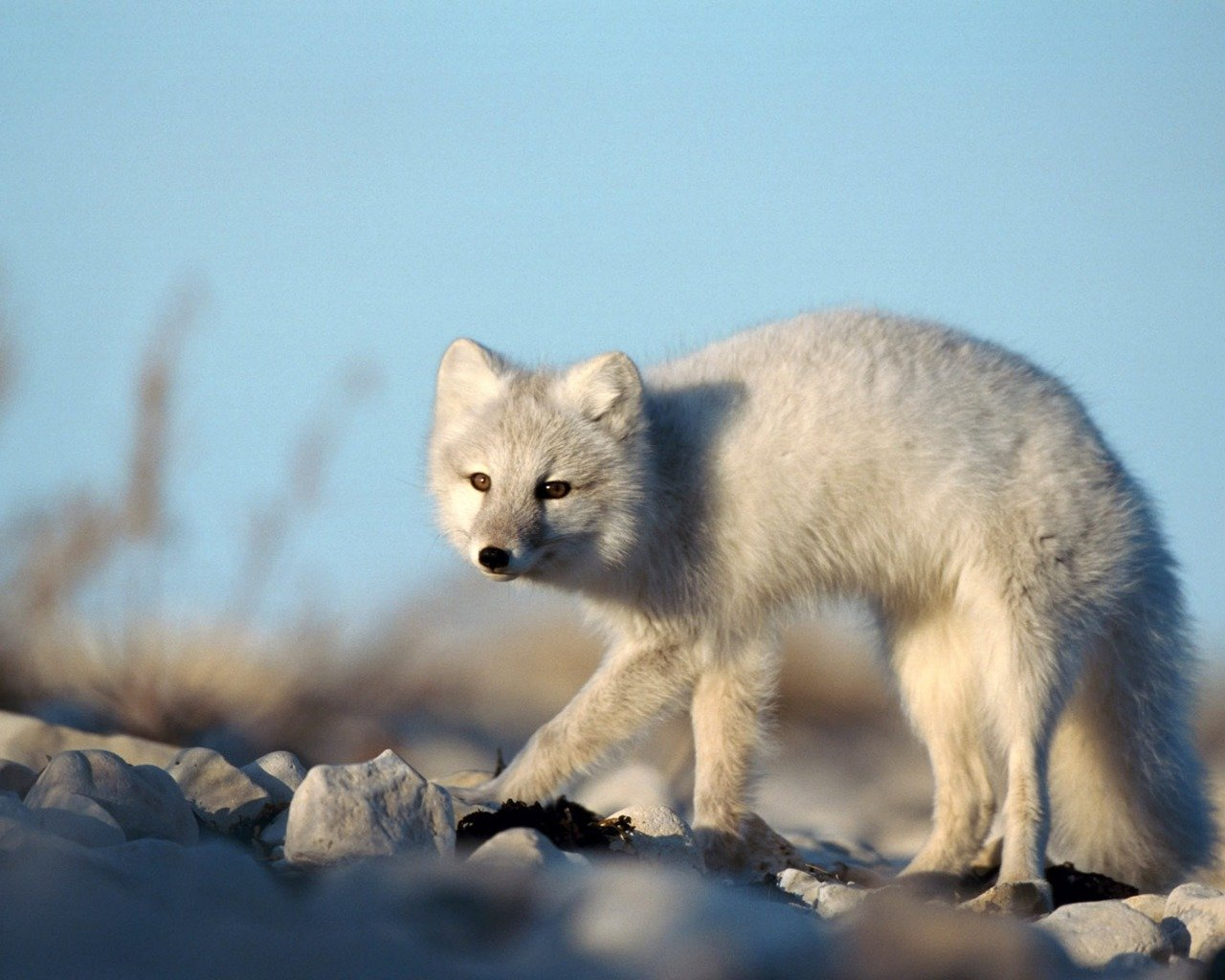 Download hd 1280x1024 Arctic Fox PC wallpaper ID:98762 for free