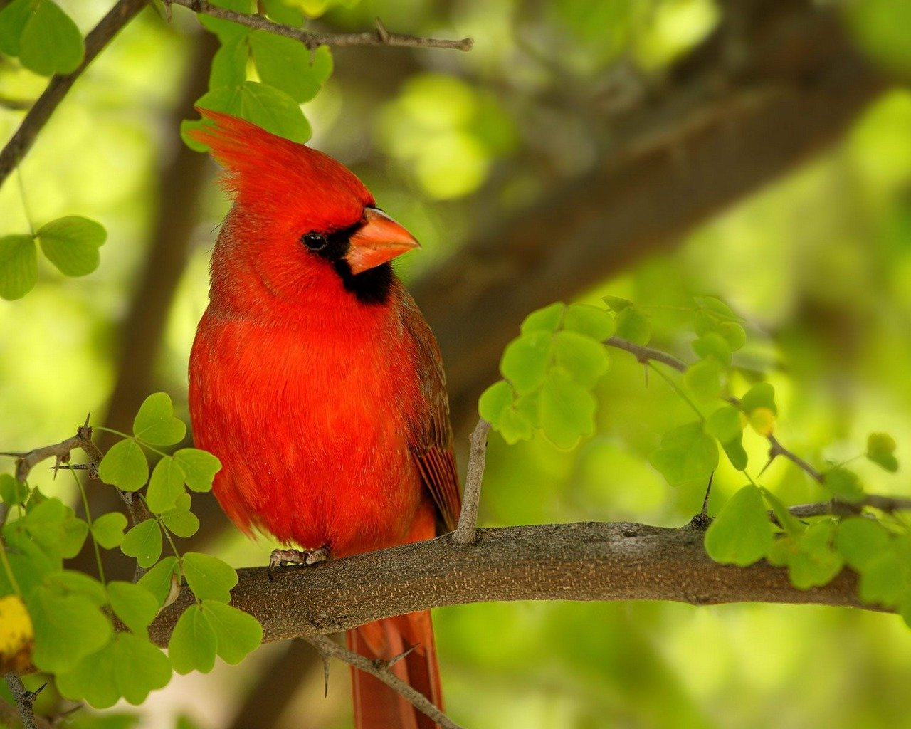 Best Cardinal background ID:24715 for High Resolution hd 1280x1024 computer