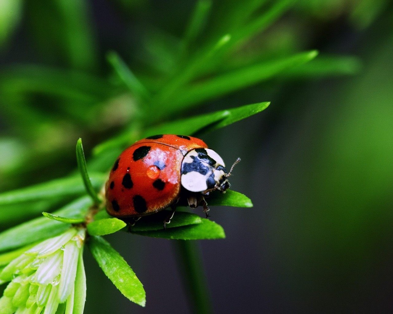 High resolution Ladybug hd 1280x1024 wallpaper ID:270581 for computer