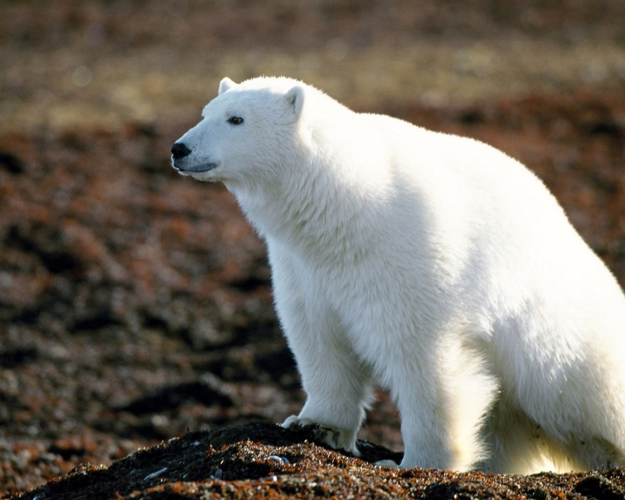 Awesome Polar Bear free wallpaper ID:359724 for hd 1280x1024 PC