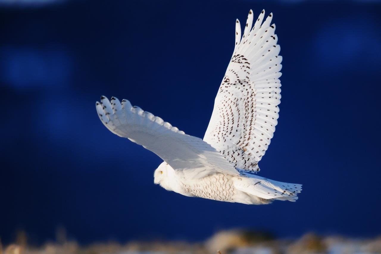 Best Snowy Owl wallpaper ID:26829 for High Resolution hd 1280x854 computer