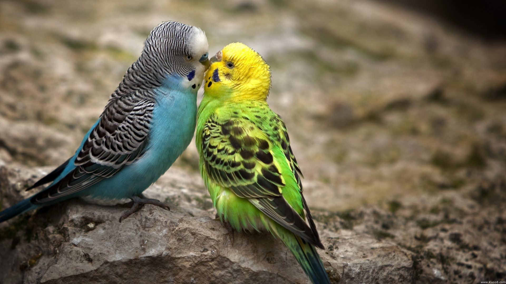 Free Budgerigar high quality background ID:32575 for hd 1920x1080 desktop