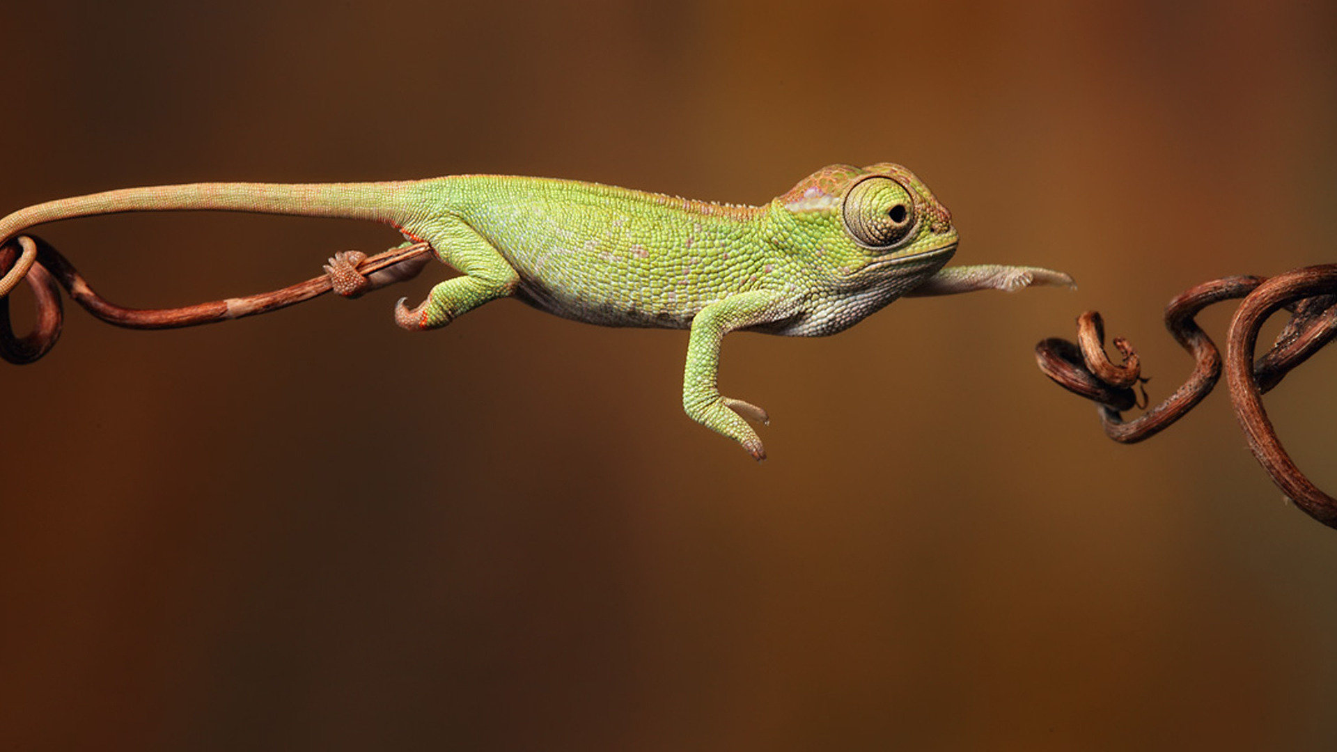 Free download Chameleon wallpaper ID:462550 full hd for computer