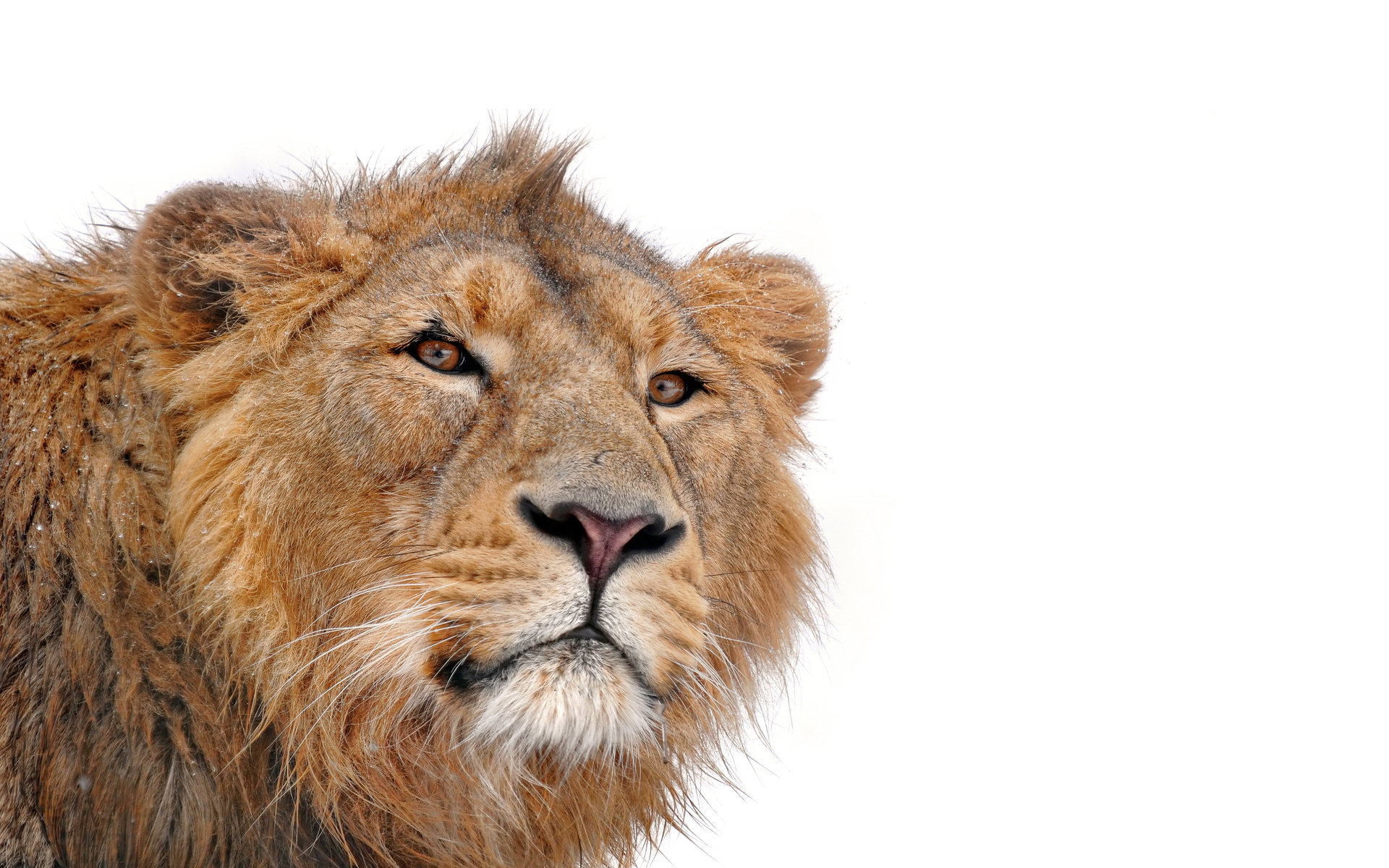 Best Lion background ID:256096 for High Resolution hd 1920x1200 desktop