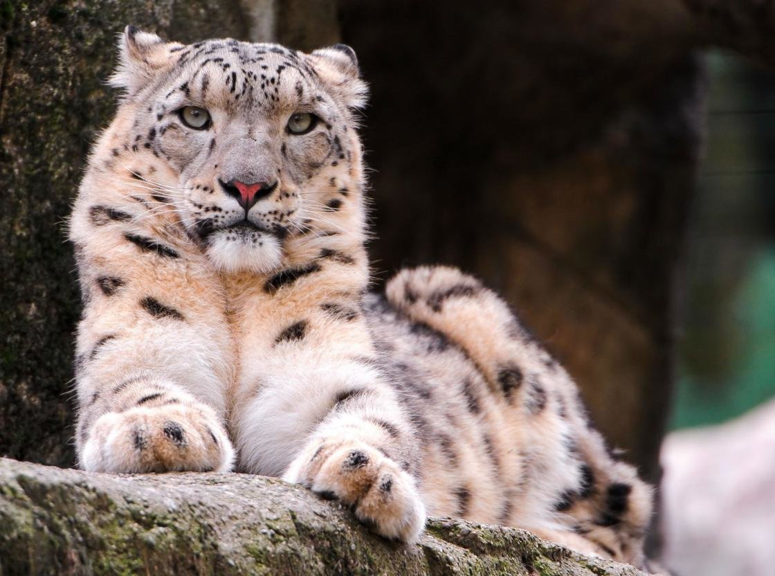 Best Snow Leopard wallpaper ID:34533 for High Resolution hd 1120x832 computer