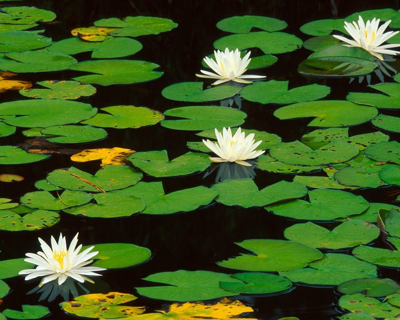 Download hd 1280x1024 Water Lily PC wallpaper ID:366118 for free