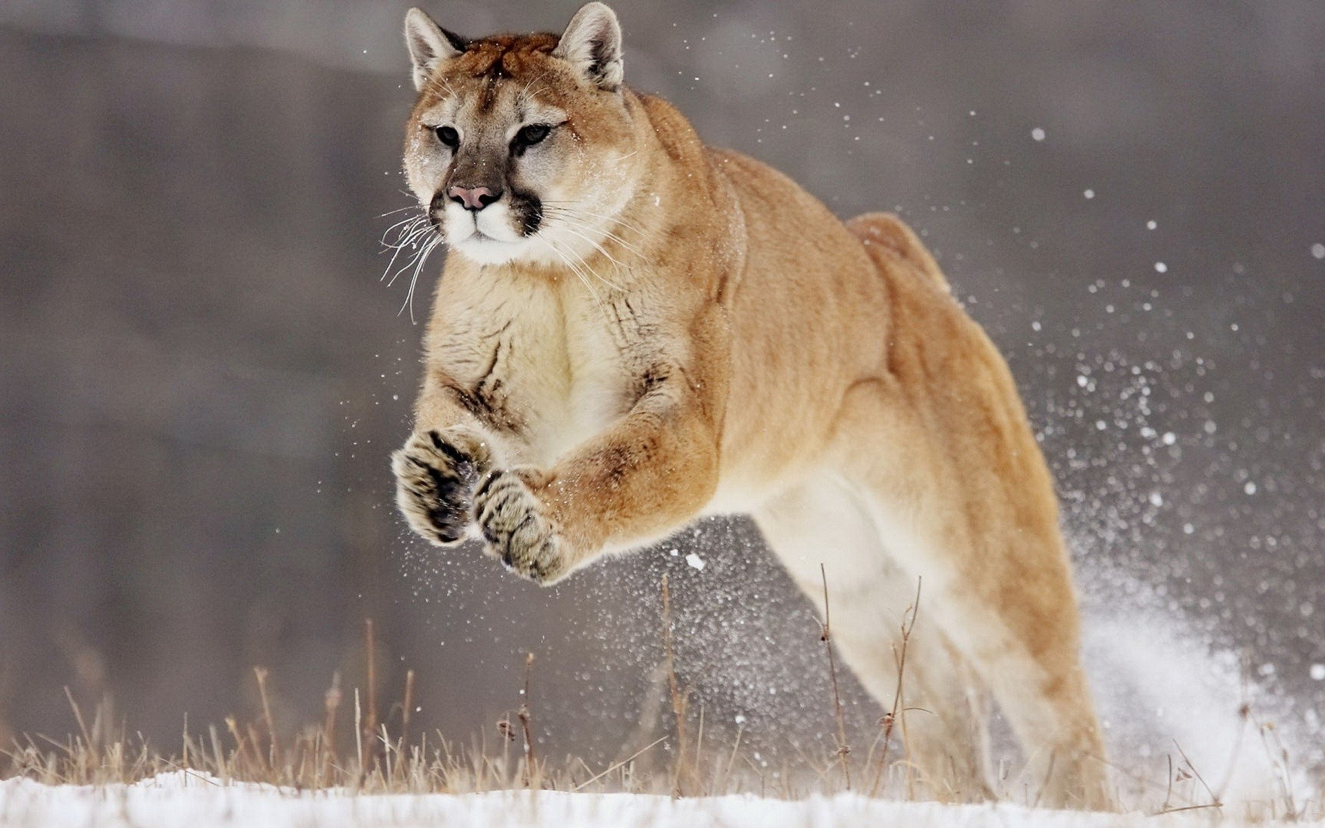 Best Cougar wallpaper ID:81765 for High Resolution hd 1920x1200 PC