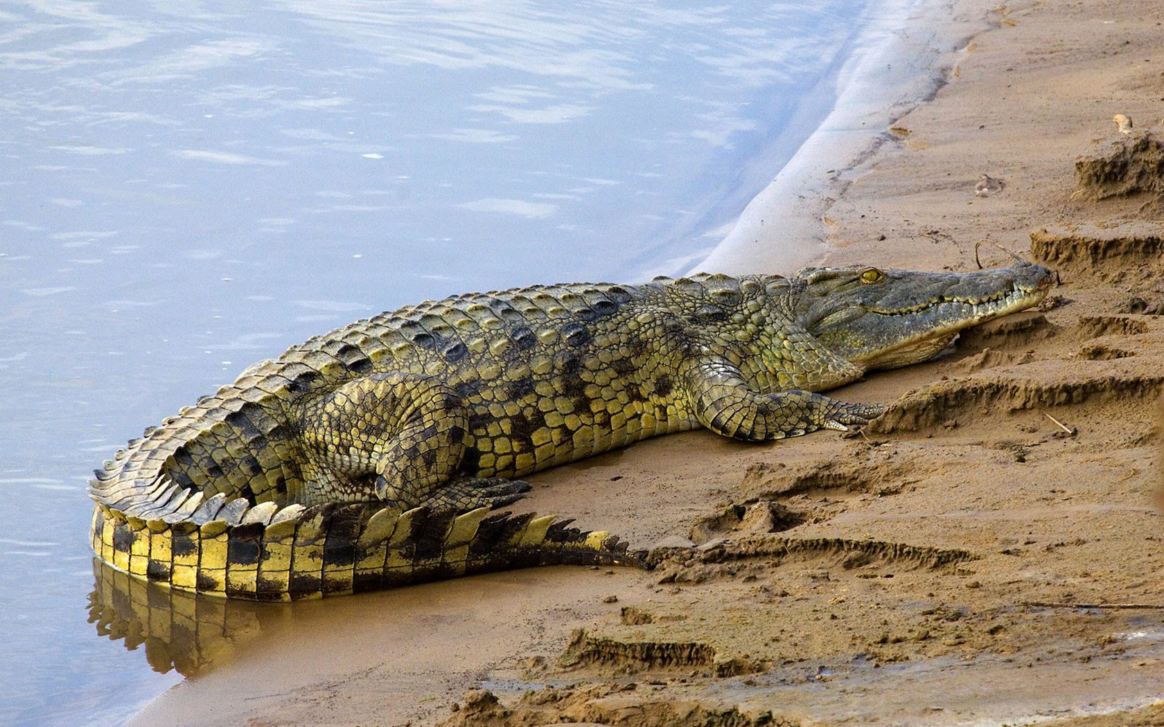 Best Crocodile background ID:278200 for High Resolution hd 1680x1050 desktop