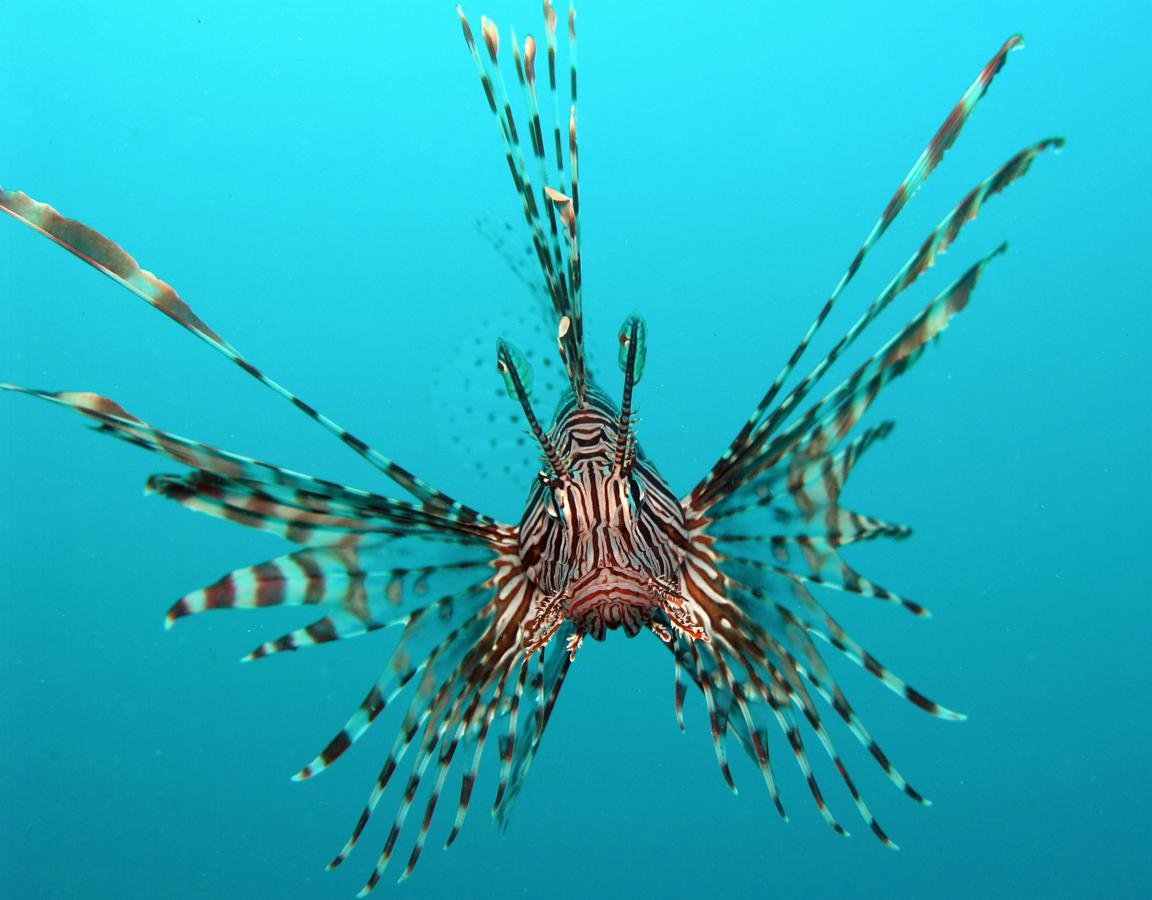 Free Lionfish high quality wallpaper ID:438225 for hd 1152x900 desktop