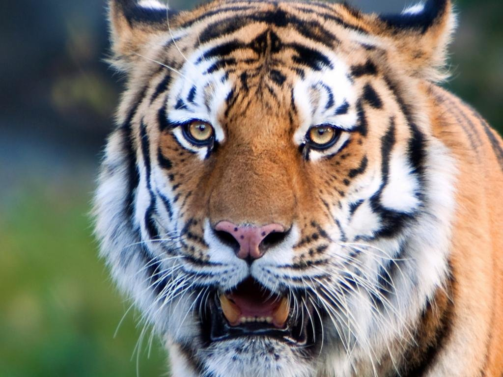 High resolution Tiger hd 1024x768 wallpaper ID:116677 for PC