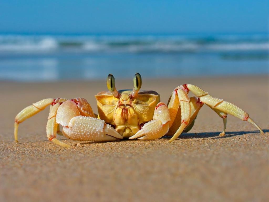 Free download Crab wallpaper ID:294292 hd 1024x768 for PC