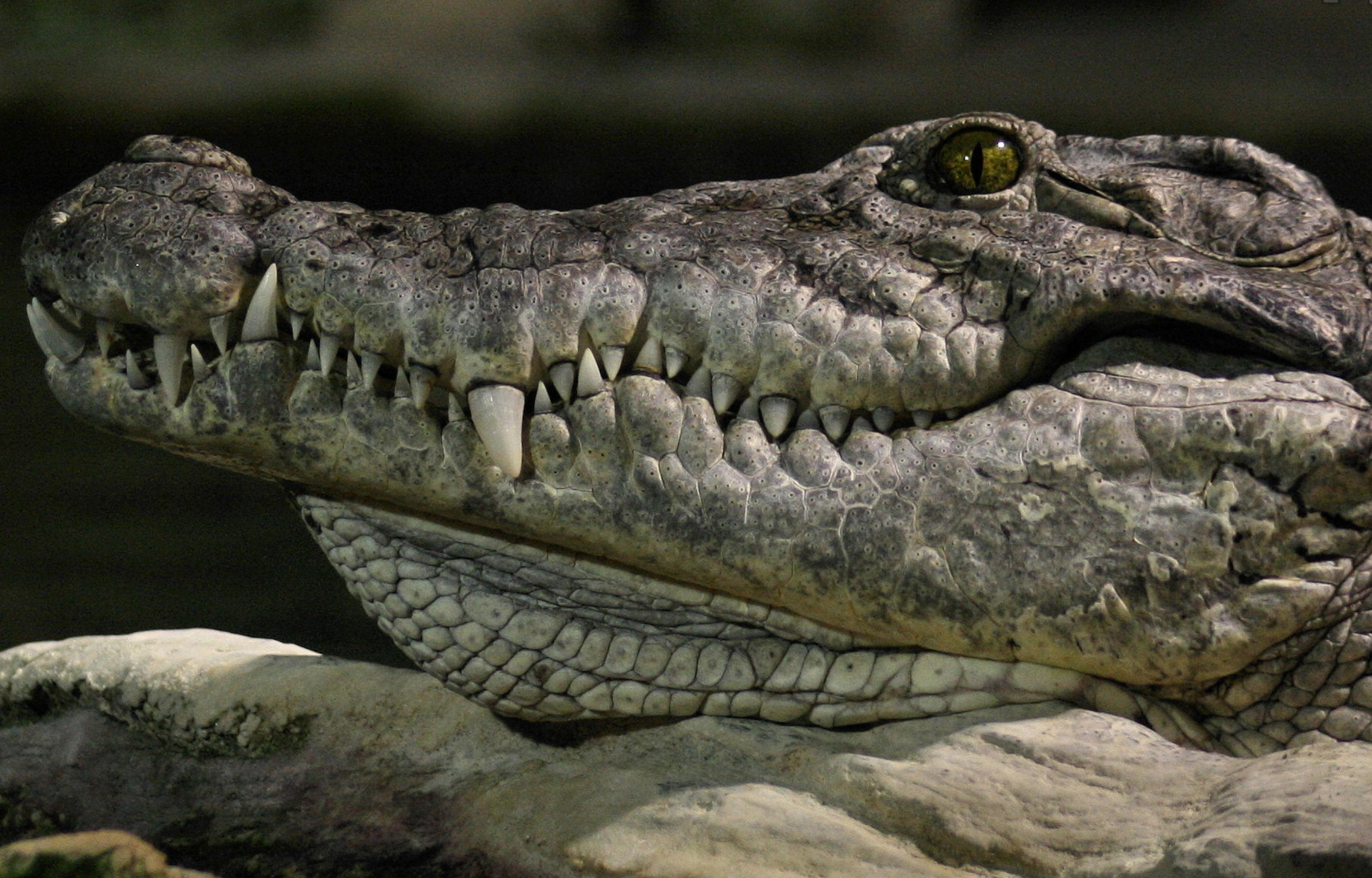 Best Crocodile wallpaper ID:278226 for High Resolution hd 3200x2048 computer