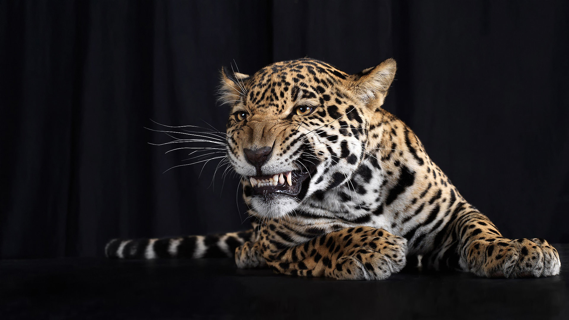 Free Leopard high quality wallpaper ID:448163 for full hd 1080p computer