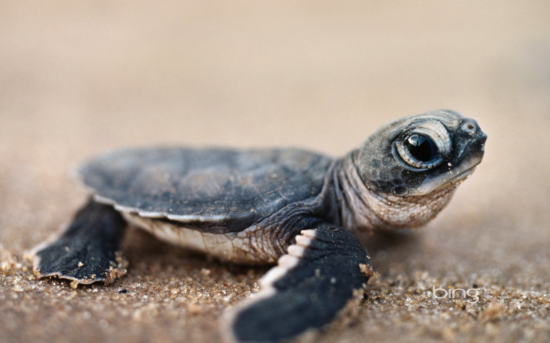 Awesome Turtle free wallpaper ID:29804 for hd 1920x1200 desktop