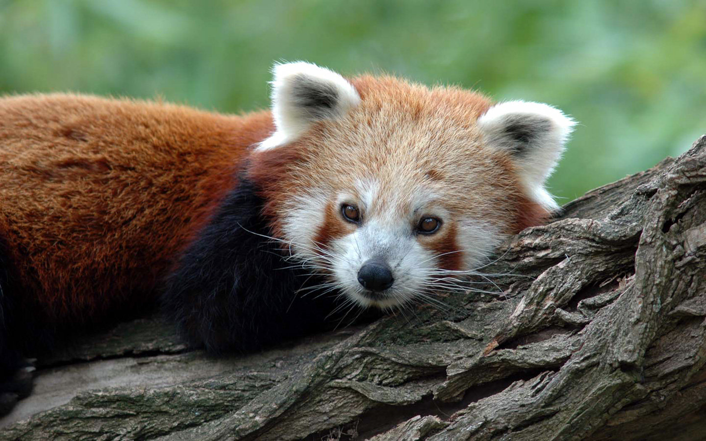 Awesome Red Panda free wallpaper ID:63956 for hd 1440x900 computer