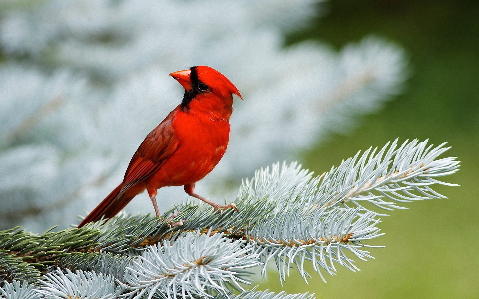 Download hd 1920x1200 Cardinal desktop wallpaper ID:24714 for free