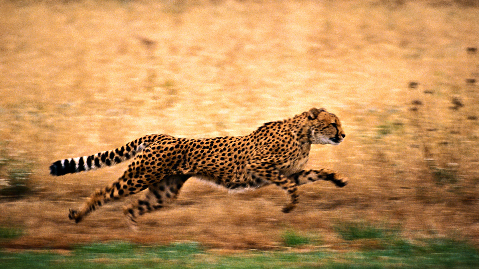 Download hd 1920x1080 Cheetah desktop background ID:161833 for free