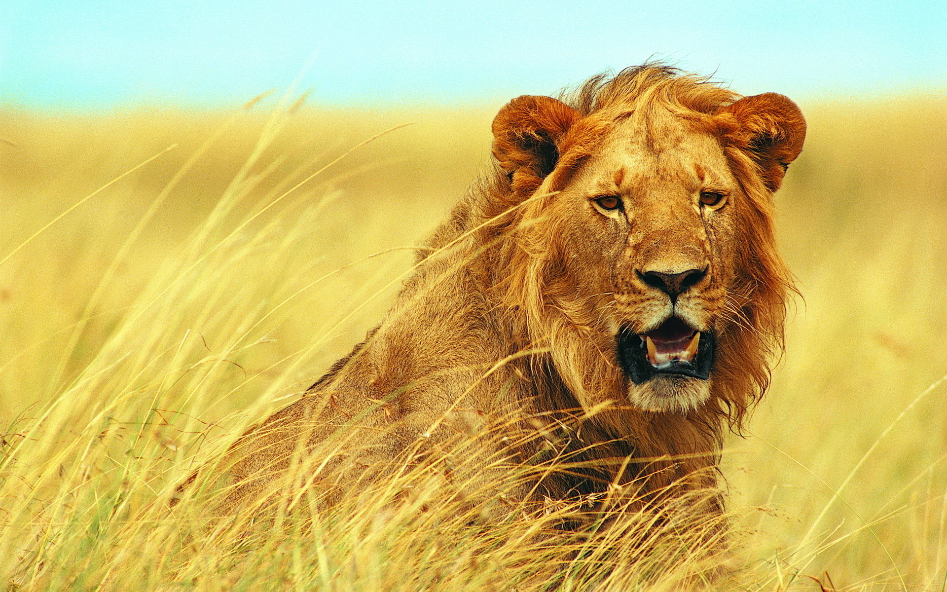 Awesome Lion free background ID:255184 for hd 1920x1200 PC