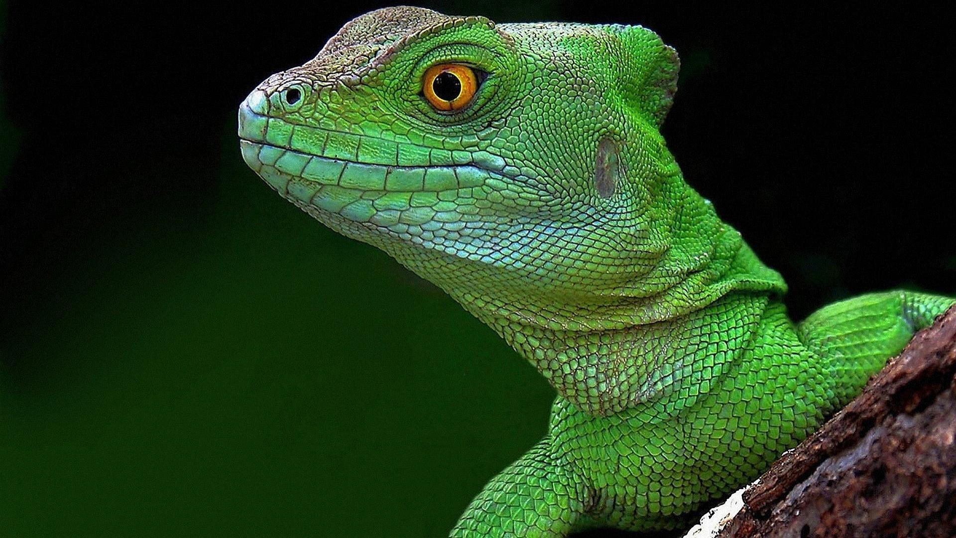 Free download Lizard wallpaper ID:443965 hd 1920x1080 for desktop