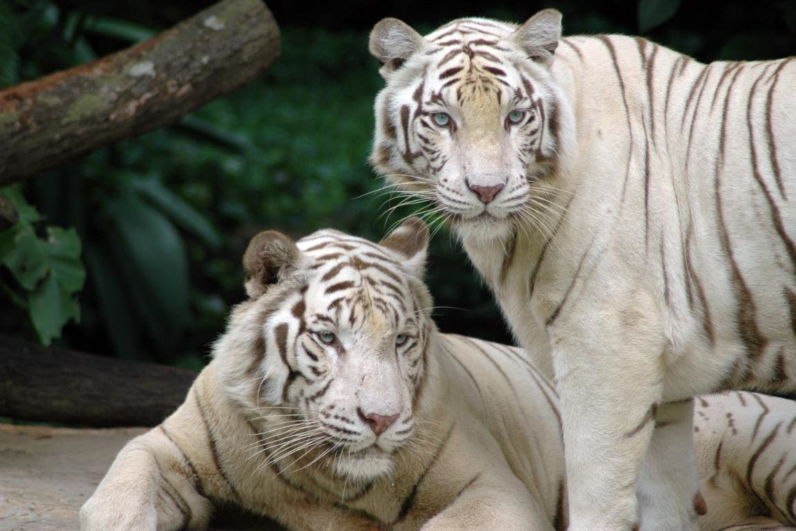 Download hd 1152x768 White Tiger desktop wallpaper ID:175039 for free