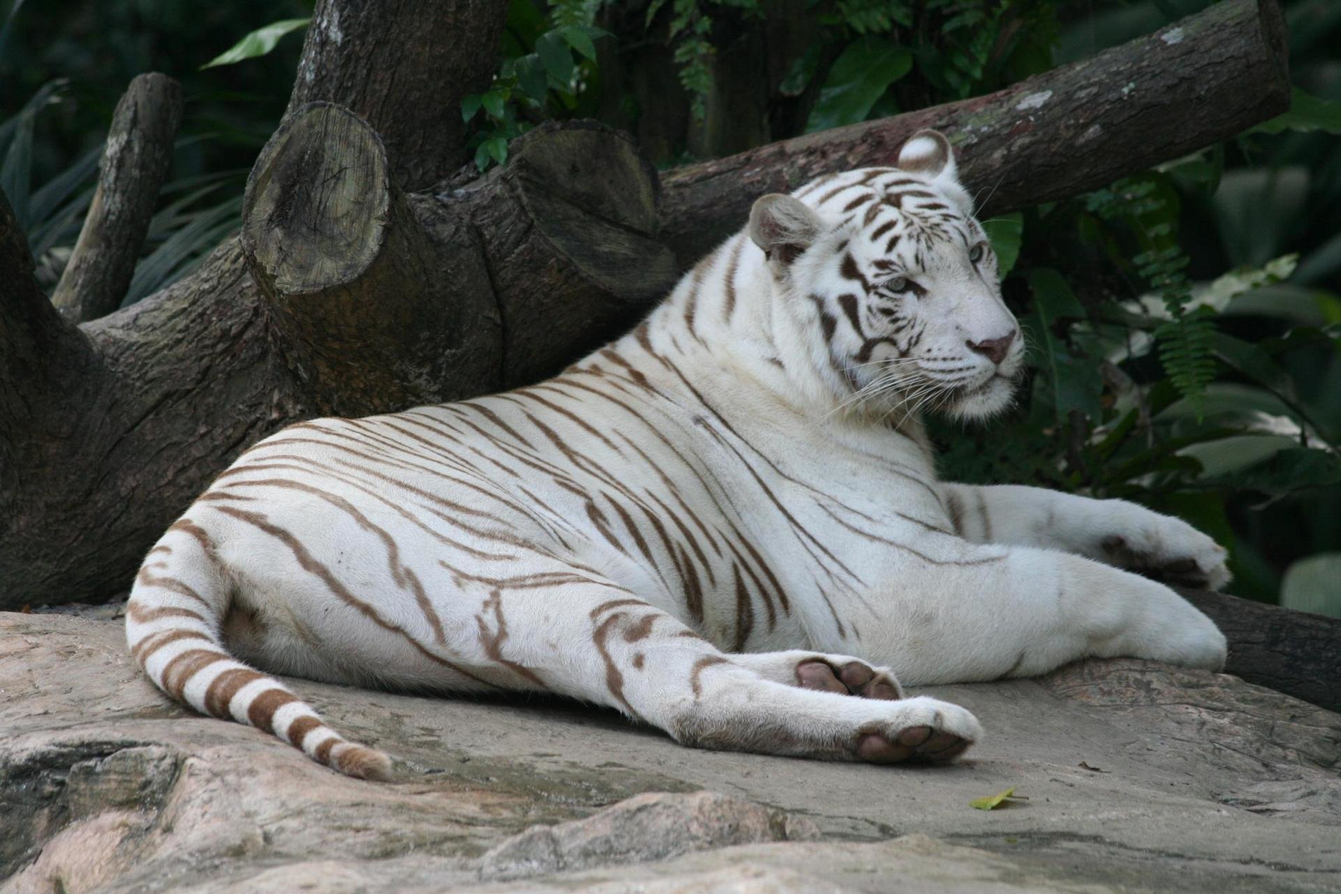 Best White Tiger wallpaper ID:175038 for High Resolution hd 1920x1280 PC