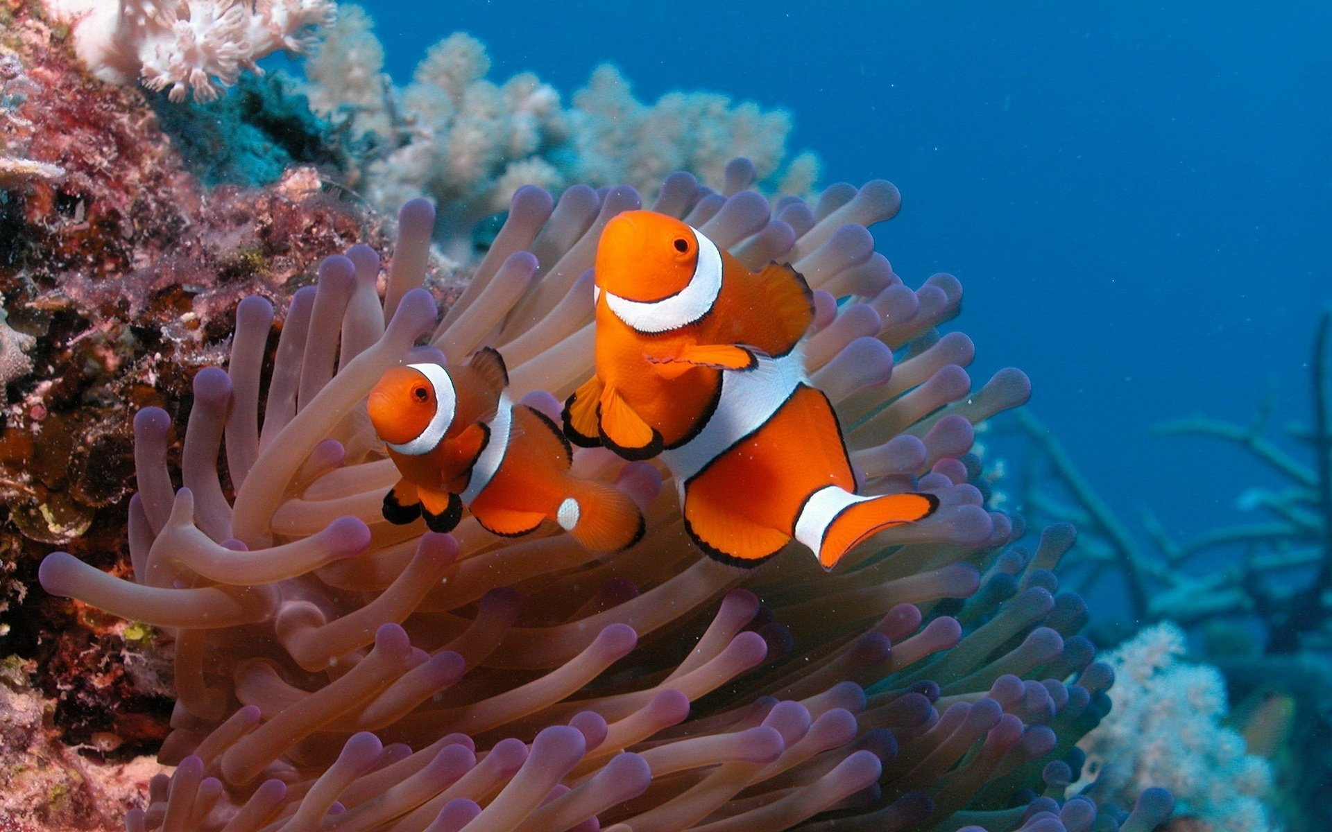 Download hd 1920x1200 Clownfish desktop wallpaper ID:53235 for free