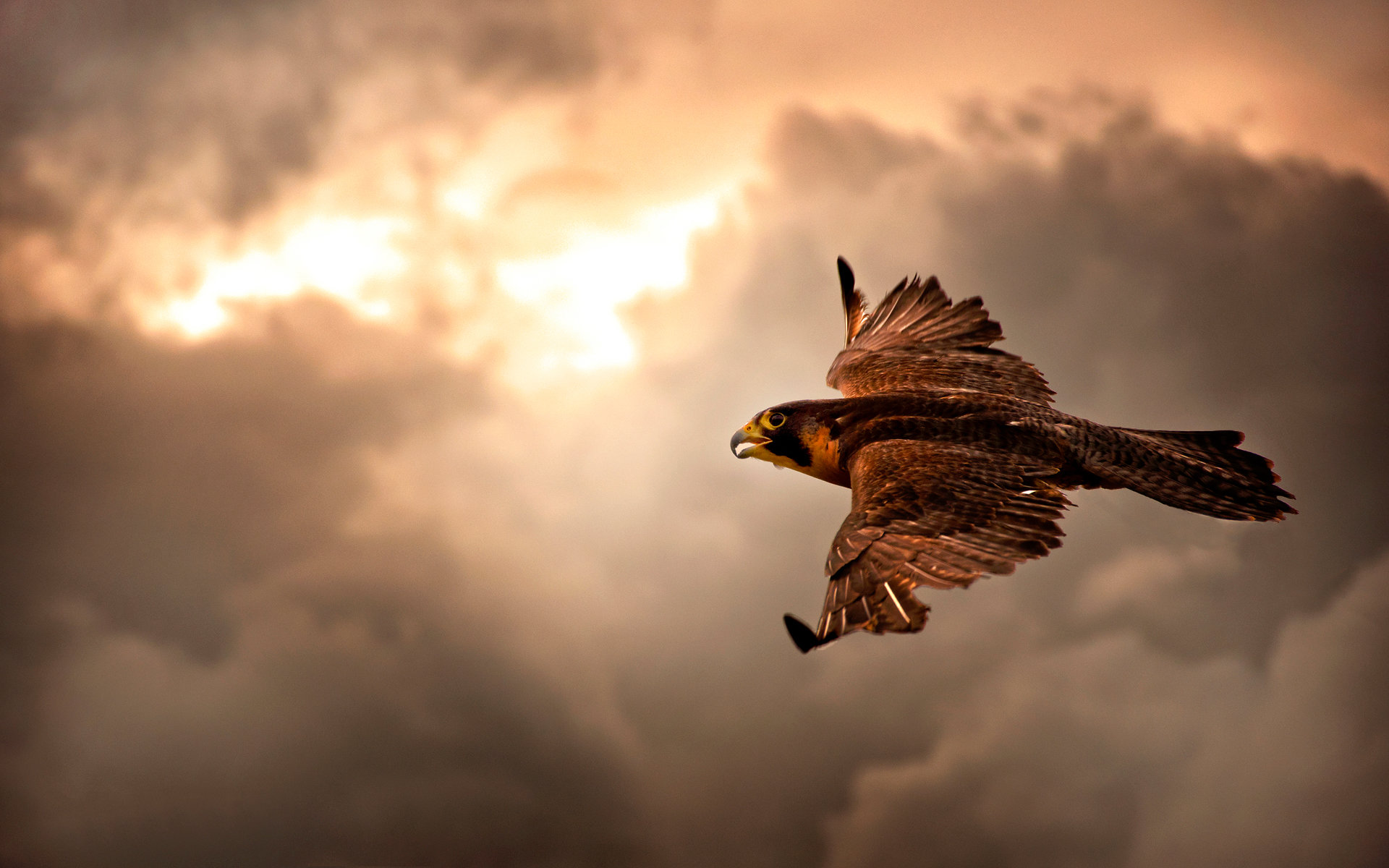 Free Falcon high quality background ID:408485 for hd 1920x1200 desktop