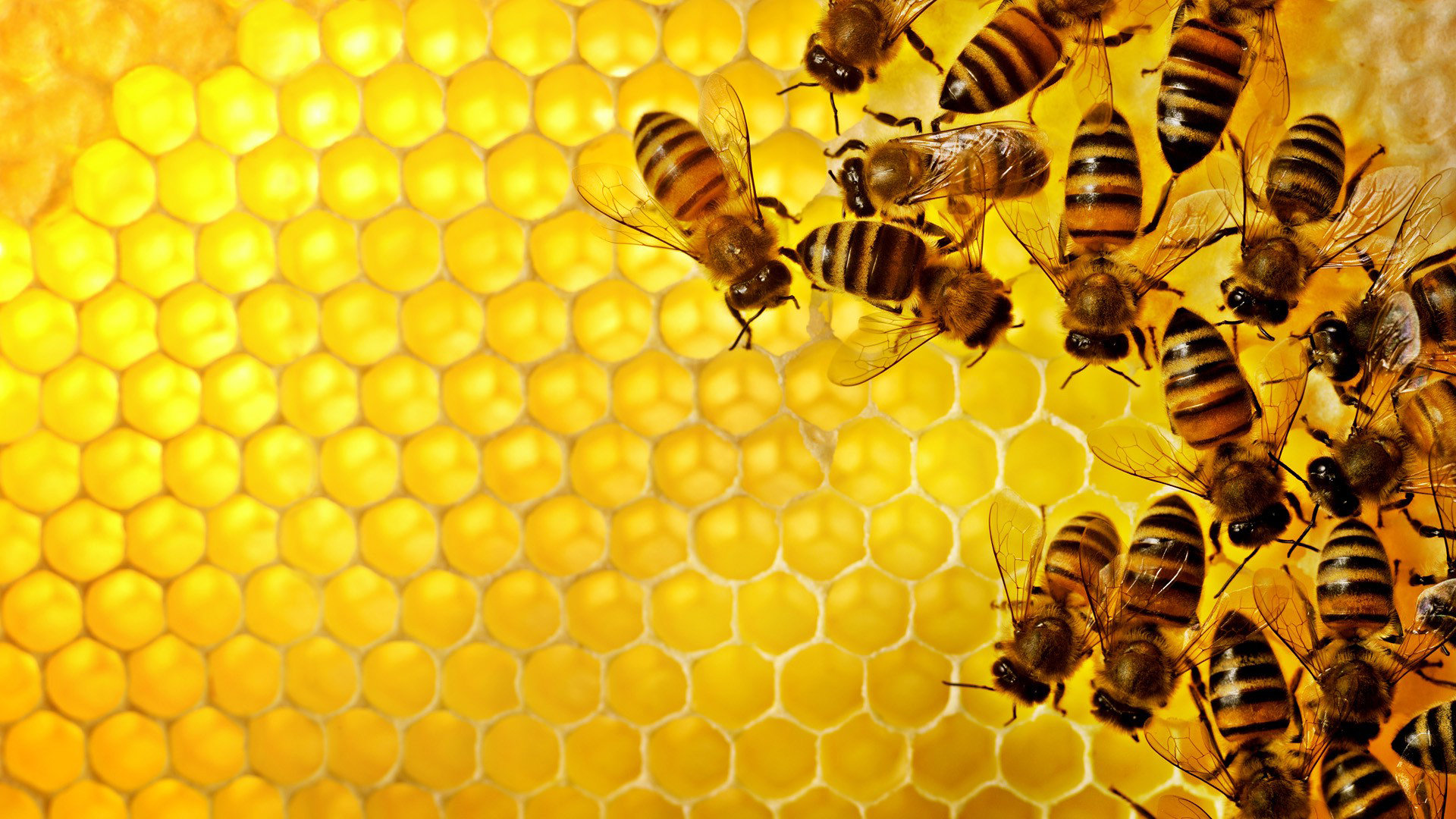 Download hd 1920x1080 Bee desktop wallpaper ID:460878 for free