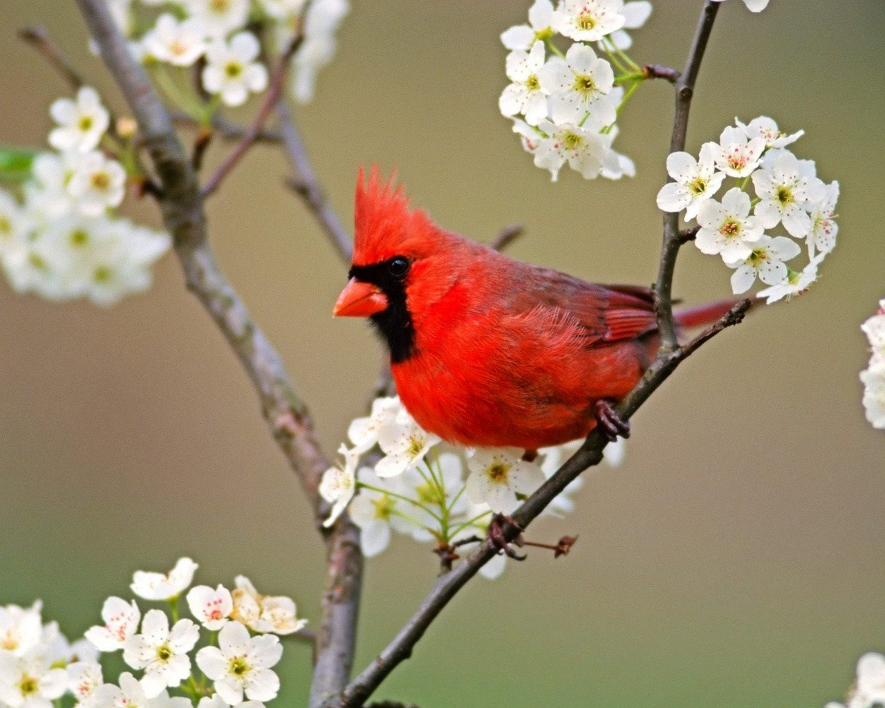 Free download Cardinal background ID:24670 hd 1280x1024 for desktop
