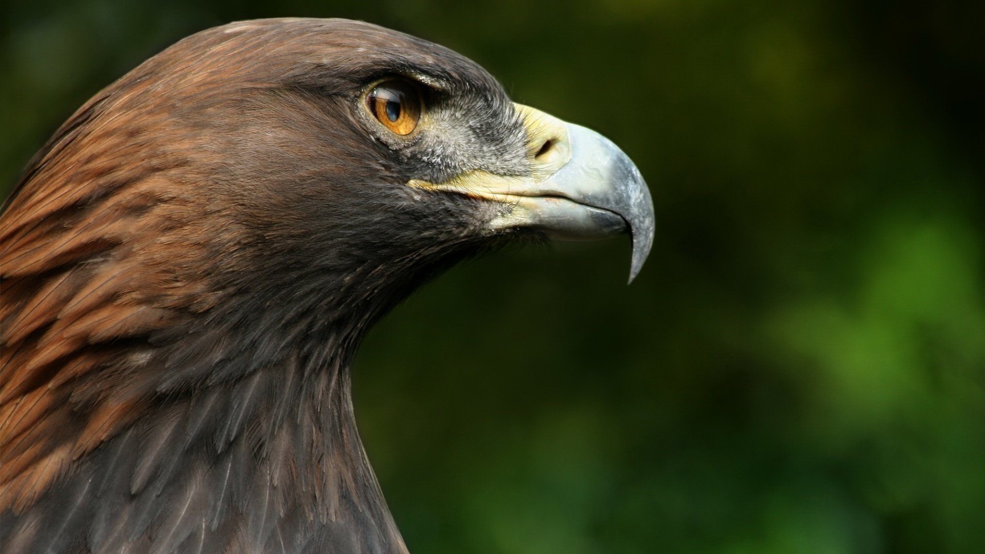 Free download Eagle wallpaper ID:231366 full hd 1080p for desktop