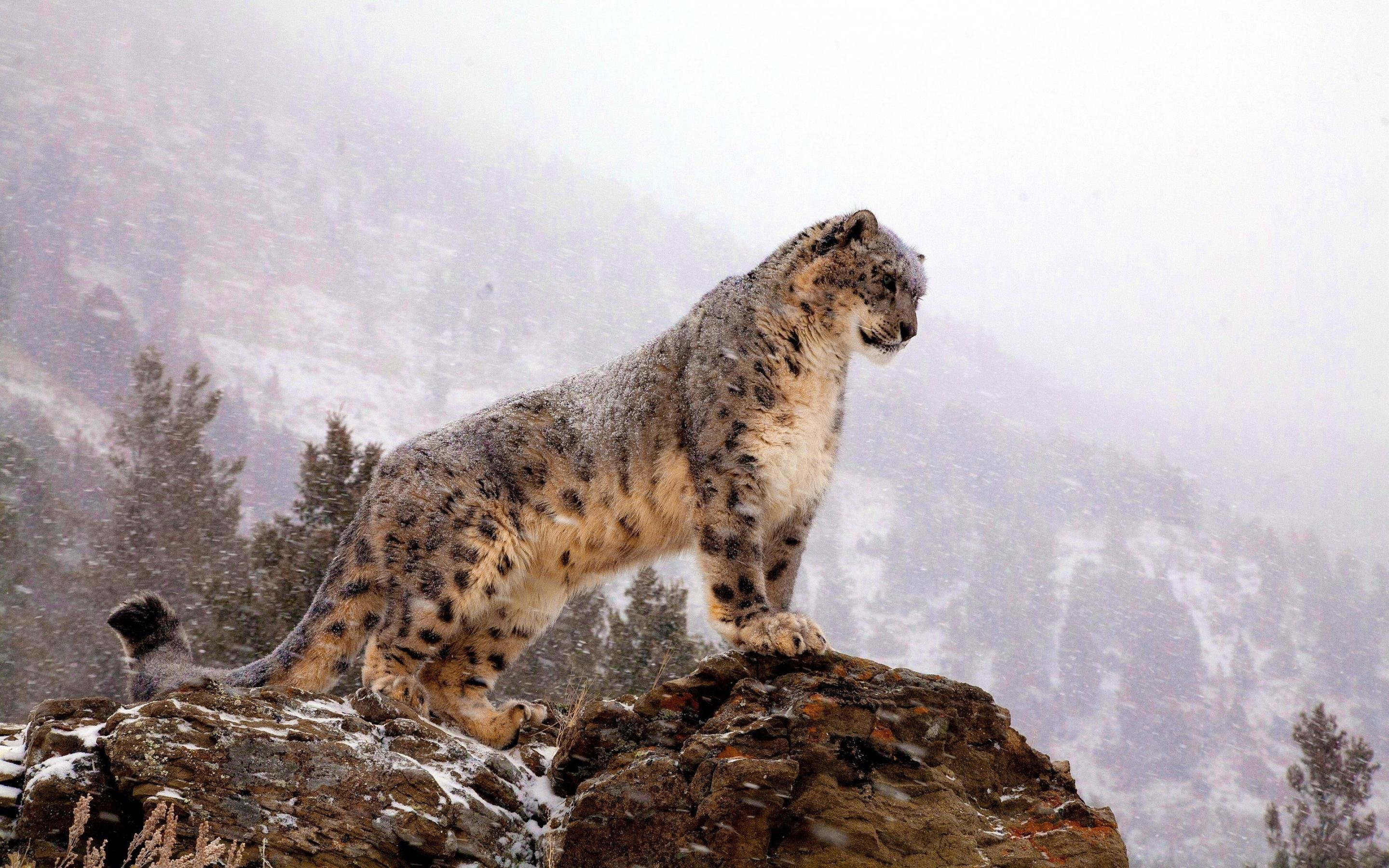 Best Snow Leopard wallpaper ID:34283 for High Resolution hd 2880x1800 PC