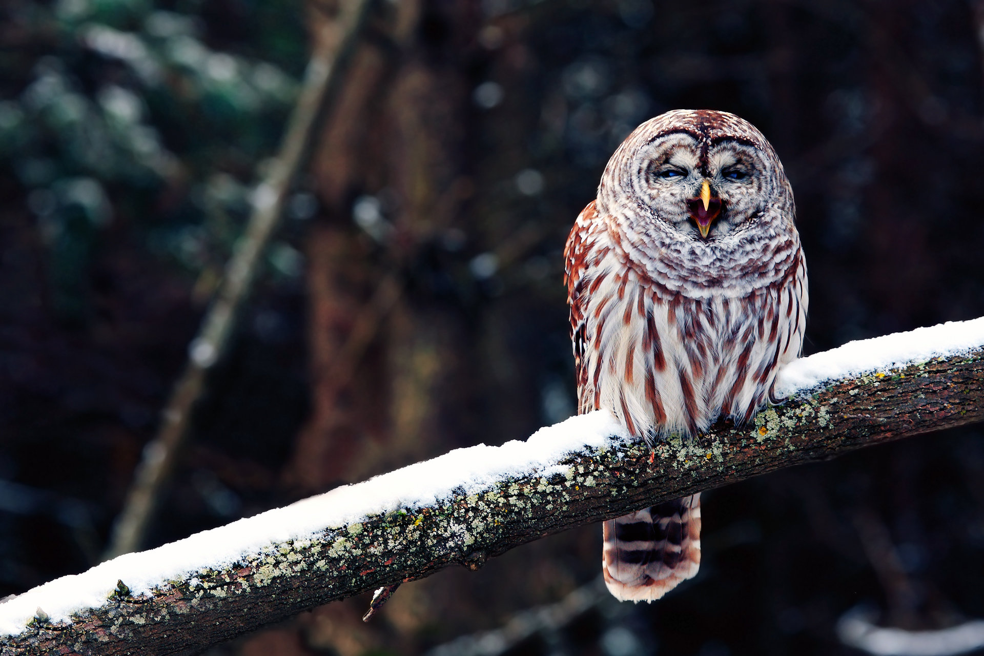 Download hd 1920x1280 Barred Owl computer background ID:91351 for free