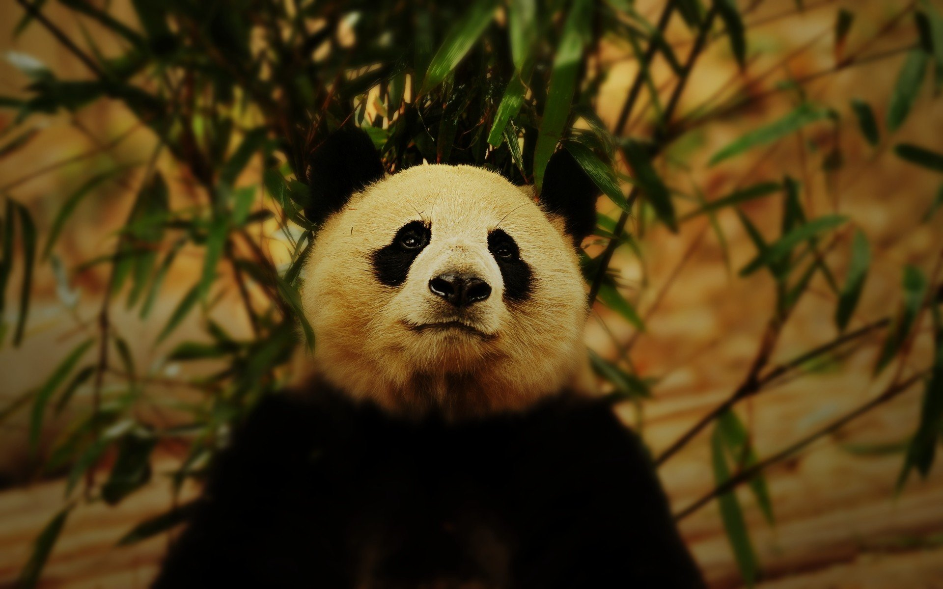 Free Panda high quality background ID:300473 for hd 1920x1200 desktop