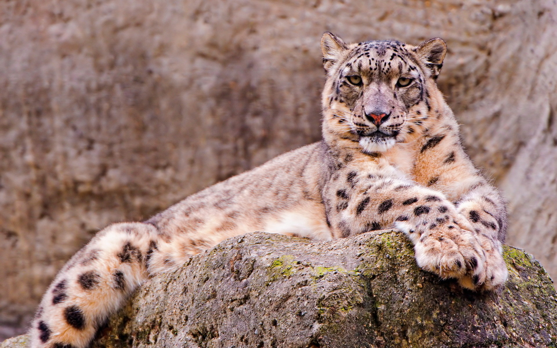 Awesome Snow Leopard free wallpaper ID:34344 for hd 1920x1200 PC