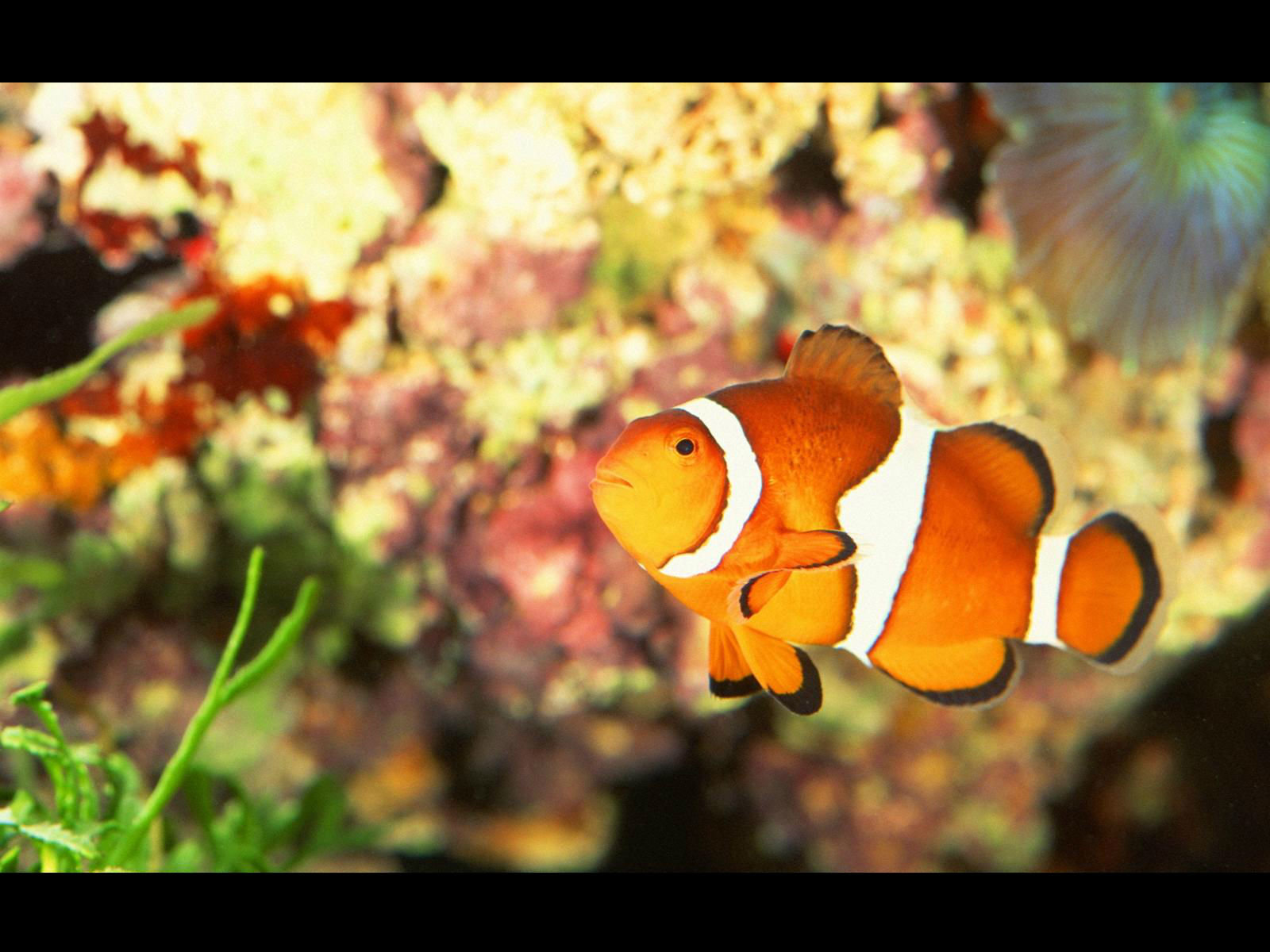 Free download Clownfish wallpaper ID:53258 hd 1600x1200 for computer