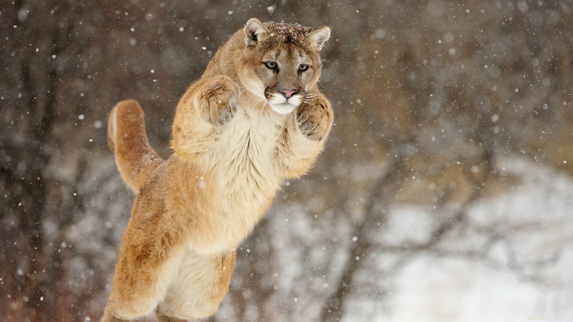 Download hd 1080p Cougar PC background ID:81764 for free