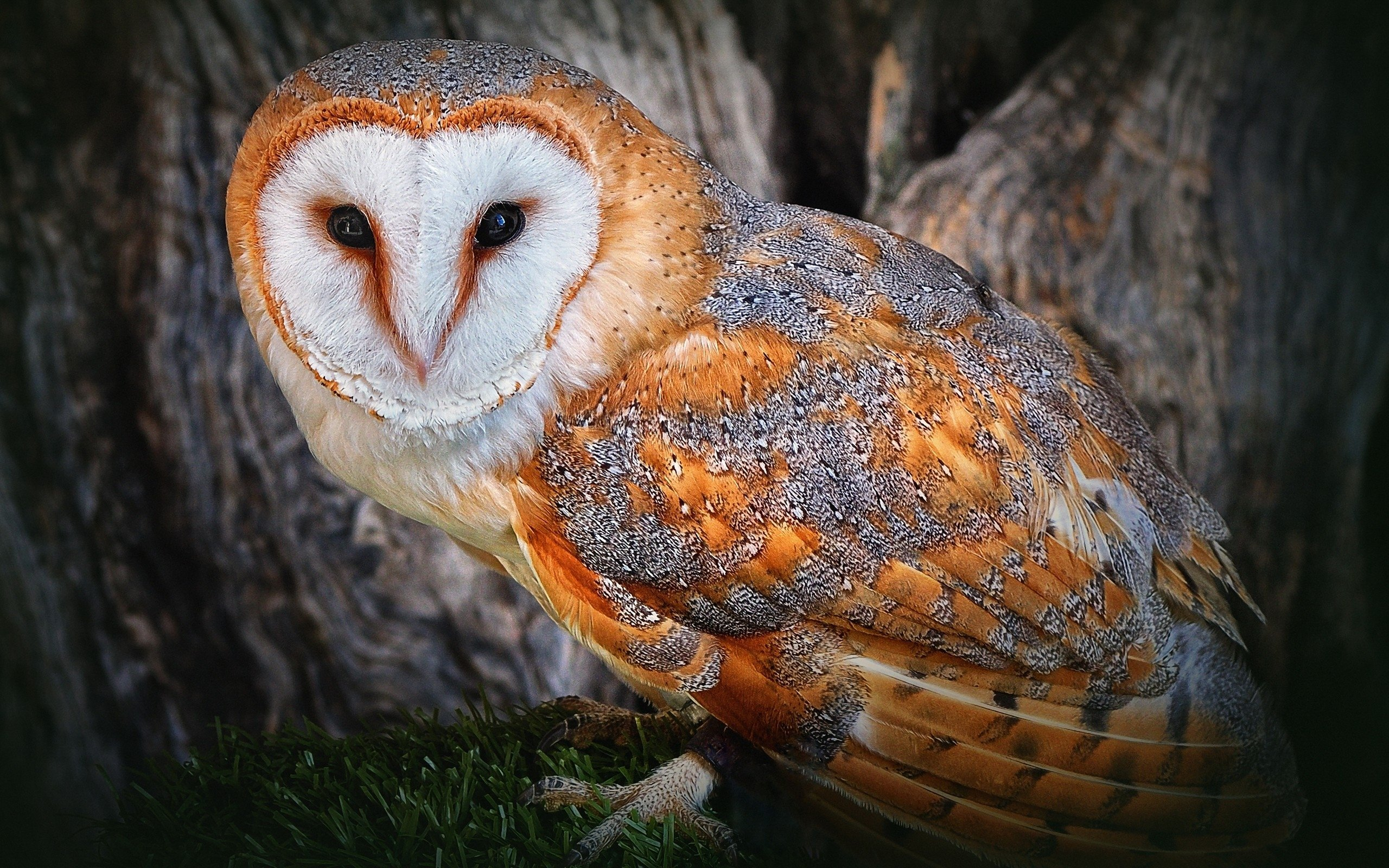High resolution Barn Owl hd 2560x1600 wallpaper ID:81564 for computer