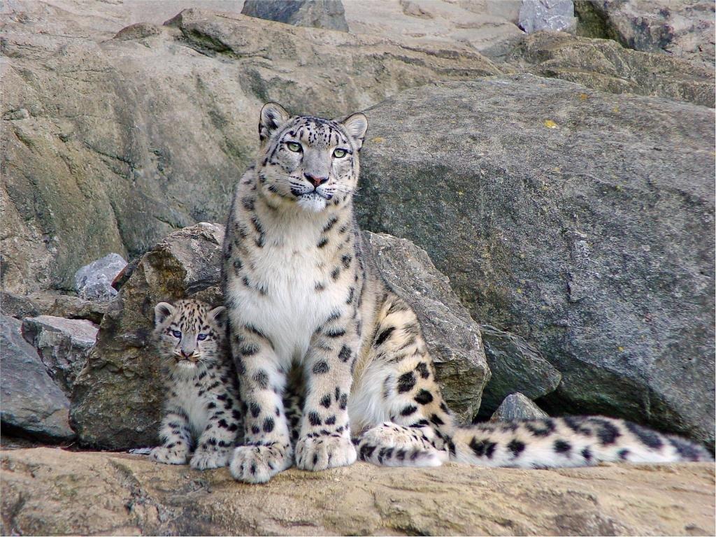 Best Snow Leopard Wallpaper Id 34294 For High Resolution Hd 1024x768