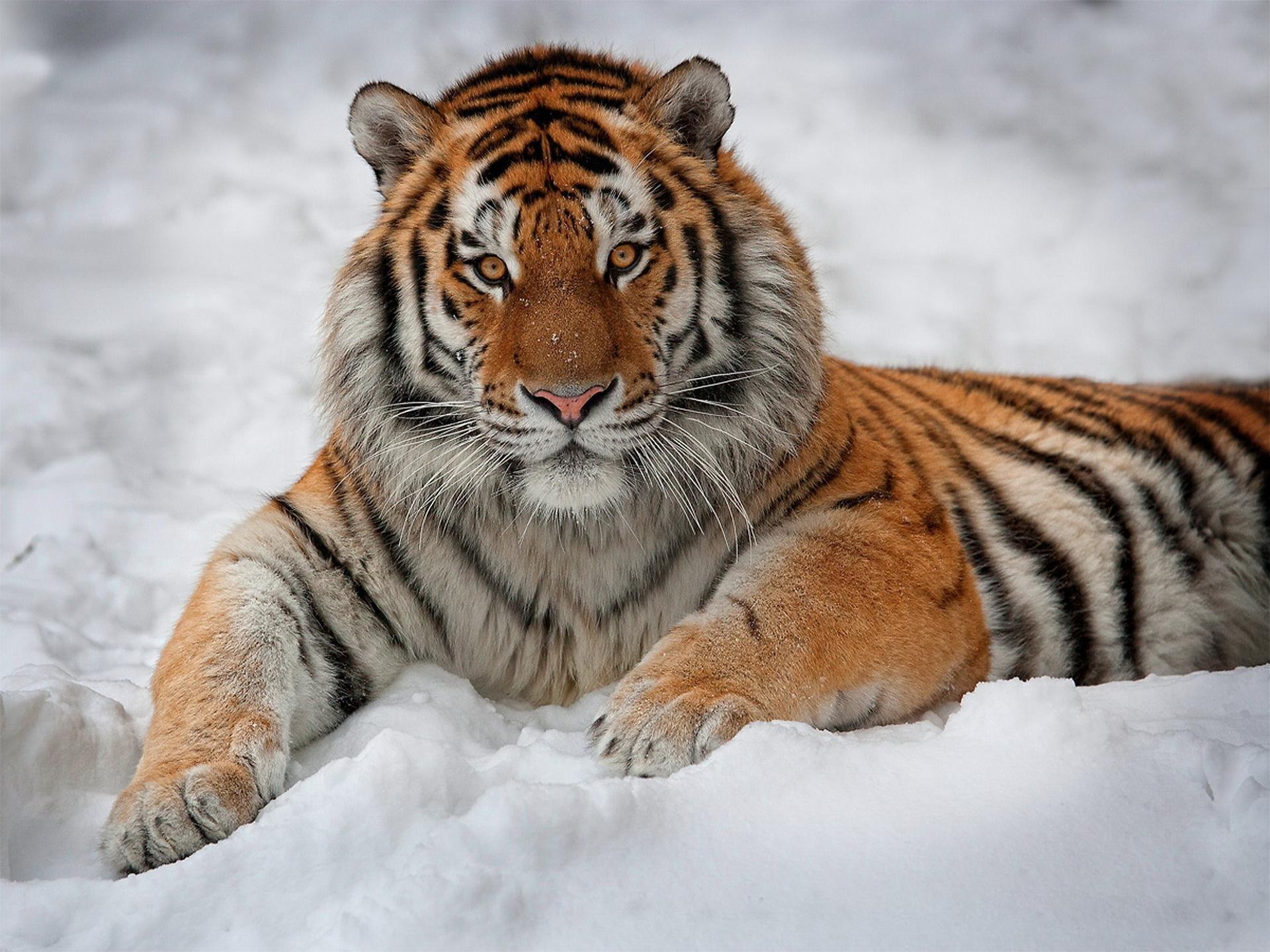 free download tiger wallpaper id:115762 hd 1920x1440 for desktop